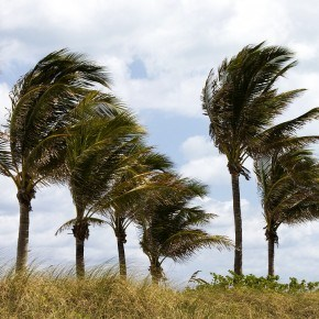 Palm Trees Blowing in Rough Winds