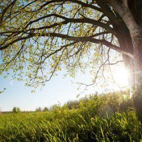 Sunny oak tree