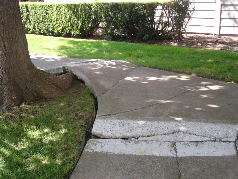 Tree roots pushing up sidewalk tree care issues